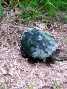 A snapping turtle by the marsh lands.