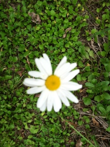 A daisy along the bike path.