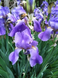 Irises along Lakeshore Drive.