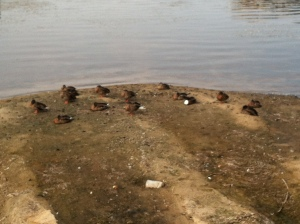 Many ducks basking on the shore of Lake Monona...