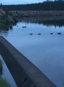 3 little ducks had to hop up the dam to swim away.