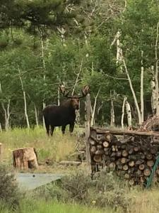 A moose on the side of the road.
