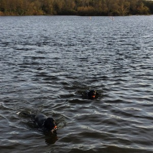 Taking the dogs for a swim