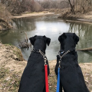 Basil and Mya are dreaming of chasing the geese and swimming!