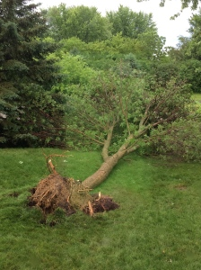 Uprooted ash tree in my parent's backyard.